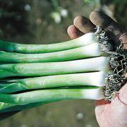 Hannibal Leek Seed Tape image