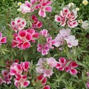 Satin Flower Godetia