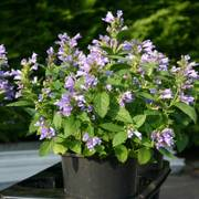 Panther Dark Blue Japanese Catmint Seeds
