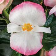Begonia Tophat™ Rose Bicolor Thumb