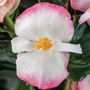 Begonia Tophat™ Rose Bicolor