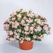 Begonia Tophat™ Rose Bicolor Alternate Image 1