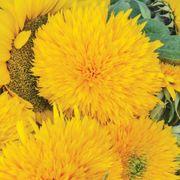 Giant Teddy Bear Sunflower Seeds image