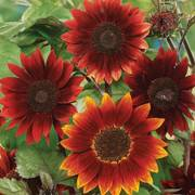 'Rouge Royale' Sunflower Seeds Thumb