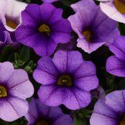 Kabloom® Denim Calibrachoa Seeds Thumb