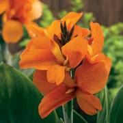 Canna South Pacific Orange image