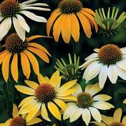 Mellow Yellows Coneflower Seeds image