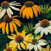 Mellow Yellows Coneflower Seeds