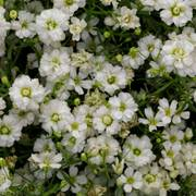 Gypsophila Gypsy White Improved