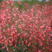 Twizzle Coral Penstemon Seeds