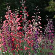 Twizzle Mix Penstemon Seeds