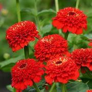'Zinderella Red' Zinnia Seeds image