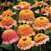 Zinnia Zinderella Peach image