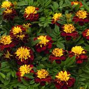Super Hero™ Spry Marigold Seeds image