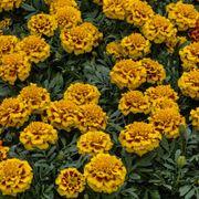 Super Hero™ Yellow Bee Marigold Seeds Alternate Image 1