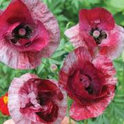Poppy Raspberry Ripple