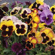 'Swiss Giants Mix' Pansy Heirloom Seeds image