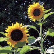 Treetops F1 Sunflower Seeds Alternate Image 1