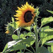 Treetops F1 Sunflower Seeds Alternate Image 2