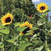Treetops F1 Sunflower Seeds Alternate Image 3