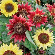 Sunflower Berries and Cream