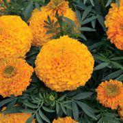 Big Duck Orange F1 Marigold Seeds Thumb