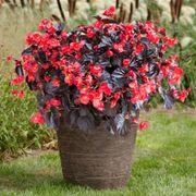 Begonia Viking XL Red on Chocolate