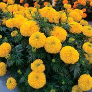 Big Duck Gold F1 Marigold Seeds Thumb