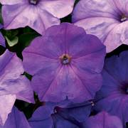 Easy Wave™ F1 Lavender Sky Blue Petunia Seeds image