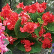 Fiona™ Red Begonia Seeds Alternate Image 1