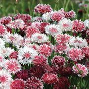 'Classic Romantic' Mix Centaurea Seeds Thumb