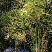 Cyperus papyrus Thumb