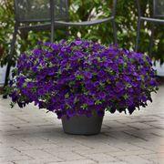 Kabloom® Blue Calibrachoa Seeds Alternate Image 1