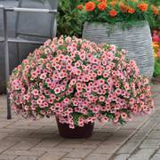 Kabloom ® Light Pink Blast Calibrachoa image