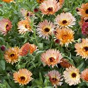 'Orange Flash' Calendula Seeds Alternate Image 1