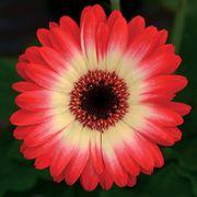 Revolution™ Bicolor Red Lemon Gerbera Daisy Seeds Thumb