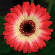 Gerbera Revolution Bicolor Red Lemon