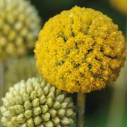 Craspedia Billy Buttons image