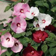 Hibiscus Honeymoon Mix