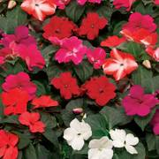 Imara™ XDR Mix Impatiens Seeds image