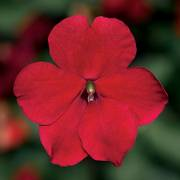 Impatiens Imara™ XDR Red Improved Thumb