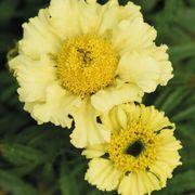 'Daisy Wheel Lemon' Marigold Seeds Alternate Image 1