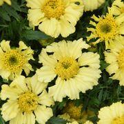 'Daisy Wheel Lemon' Marigold Seeds Alternate Image 2