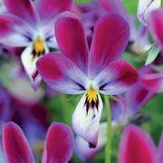 'Bunny Ears' Viola Seeds Thumb