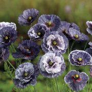Amazing Grey Poppy Seeds Thumb