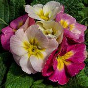 Primula Sweet 16 Alternate Image 1