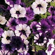 Shock Wave® Tie Dye Purple Petunia Seeds Thumb