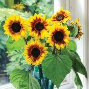 'Helios Flame' Hybrid Sunflower Seeds Thumb