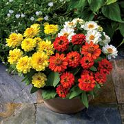 Profusion Double Sunrise Mix Zinnia Seeds image