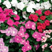 Cora® XDR Mix Vinca Seeds image